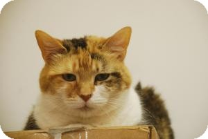 Domestic Shorthair Cat for adoption in Chesapeake, Virginia - Callie M