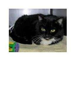 Domestic Mediumhair Cat for adoption in crofton, Maryland - Pearl
