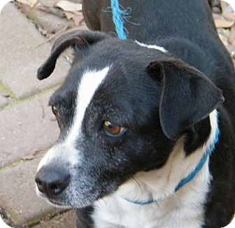 Jack Russell Terrier Mix Dog for Sale in manasquam, New Jersey - Mr Bradley adoption fee reduce