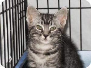 Domestic Shorthair Cat for Sale in Milwaukee, Wisconsin - Jazzpurr