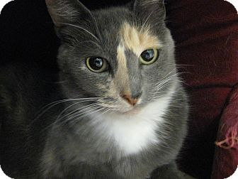 Domestic Shorthair Cat for adoption in Brea, California - Naomi