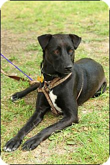 Labrador Retriever/Terrier (Unknown Type, Medium) Mix Dog for adption in Garland, Texas - Dee Dee