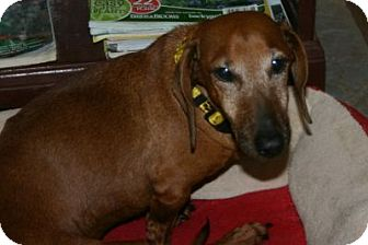 Dachshund Dog for adption in Queen Creek, Arizona - Beau