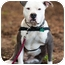 Photo 3 - American Bulldog/American Pit Bull Terrier Mix Dog for adoption in Fresno, California - Walter