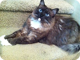 Ragdoll Cat for Sale in Gilbert, Arizona - Coco