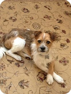Terrier (Unknown Type, Small) Mix Dog for Sale in Norwalk, Connecticut - Chadwick - adoption pending