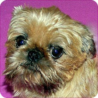 Brussels Griffon Dog for Sale in Burneyville, Oklahoma - ABBY - ADOPTION PENDING