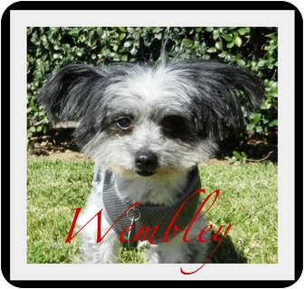 Poodle (Toy or Tea Cup)/Yorkie, Yorkshire Terrier Mix Dog for Sale in Escondido, California - Wembley