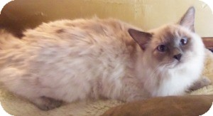 Ragdoll Kitten for Sale in Ennis, Texas - North