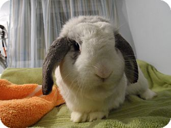 Lop-Eared Mix for Sale in Hillside, New Jersey - Maxwell