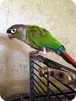 Conure for adoption in Tampa, Florida - Kirk
