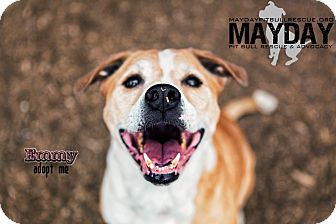 American Pit Bull Terrier Mix Dog for adption in Phoenix, Arizona - Emmy