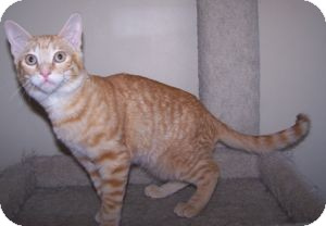Domestic Shorthair Kitten for Sale in Colorado Springs, Colorado - K-Sophie-Hoboken