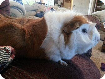 Guinea Pig for adoption in johnson creek, Wisconsin - skittles