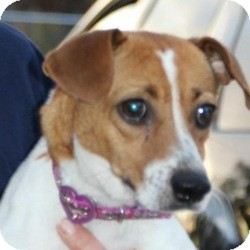 Jack Russell Terrier Mix Dog for Sale in Marlton, New Jersey - Georgia