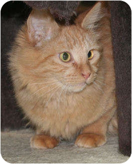 Domestic Longhair Cat for Sale in Edmonton, Alberta - Tucker