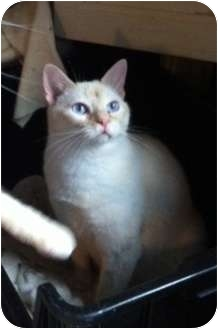 Siamese Cat for adoption in Austin, Texas - Louie