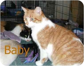 Domestic Shorthair Cat for adoption in Catasauqua, Pennsylvania - Baby