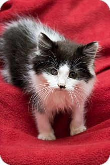 Domestic Longhair Kitten for Sale in Chicago, Illinois - Butterball