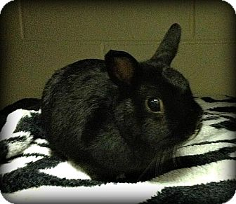 Netherland Dwarf Mix for Sale in Williston, Florida - Moochi