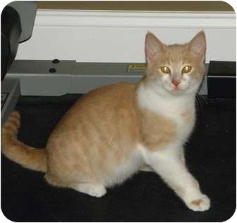 Domestic Shorthair Cat for adoption in Barnegat, New Jersey - Oscar