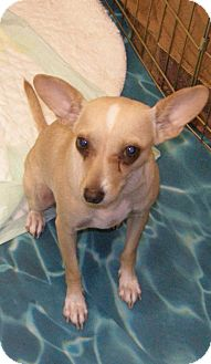 Chihuahua Mix Dog for Sale in Las Vegas, Nevada - Helen