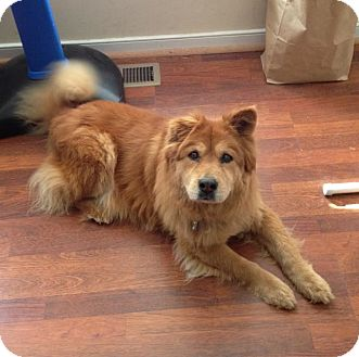 Chow Chow Mix Dog for Sale in Richmond, Virginia - Juliette