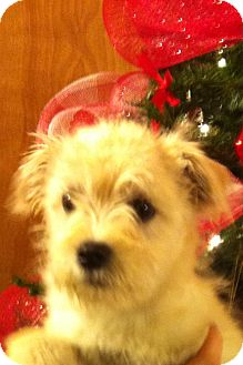 Schnauzer (Miniature)/Fox Terrier (Wirehaired) Mix Puppy for Sale in Manchester, Connecticut - Abbie - ADOPTION PENDING