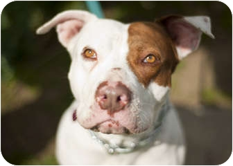 American Bulldog/American Pit Bull Terrier Mix Dog for Sale in Santa Monica, California - Janie Z