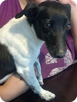 Jack Russell Terrier Mix Dog for Sale in San Diego, California - Angie URGENT