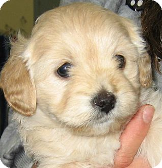 Shih Tzu/Poodle (Miniature) Mix Puppy for Sale in Thousand Oaks, California - Nala