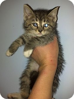 Domestic Mediumhair Kitten for Sale in Rising Sun, Indiana - Jason
