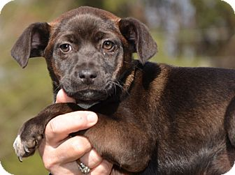 Labrador Retriever/Border Collie Mix Puppy for adption in Washington, D.C. - Spring