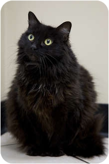 Domestic Longhair Cat for adoption in Chicago, Illinois - Miss Peaches