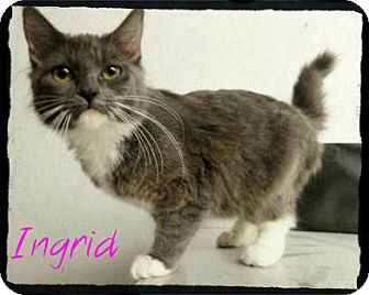 Domestic Mediumhair Kitten for Sale in manasquam, New Jersey - Ingrid-SWEETHEART!