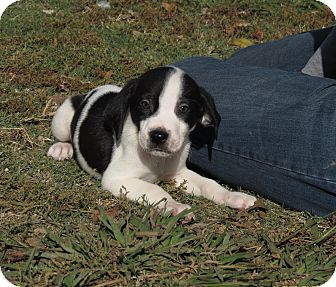 Weimaraner/English Springer Spaniel Mix Puppy for Sale in Glastonbury, Connecticut - Rudolph~adopted~