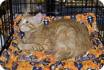 Domestic Mediumhair Cat for adoption in Elfers, Florida - Solo