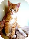 Domestic Shorthair Kitten for Sale in Red Bluff, California - Magic