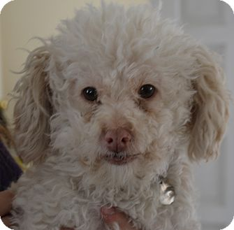 Poodle (Miniature) Mix Dog for Sale in Simi Valley, California - Griffin