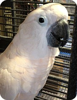 Cockatoo for adoption in Mantua, Ohio - WOOKIE