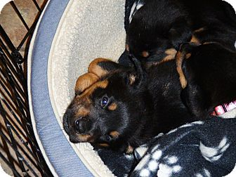 Rottweiler Puppy for Sale in Gilbert, Arizona - litter of rottie pups