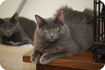Russian Blue Kitten for Sale in Bensalem, Pennsylvania - Fluffernutter