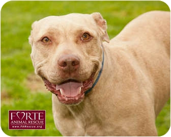 American Staffordshire Terrier Mix Dog for adption in Marina del Rey, California - Dior