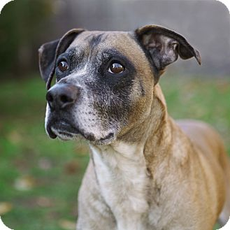 Boxer Mix Dog for Sale in Rockaway, New Jersey - Mitch