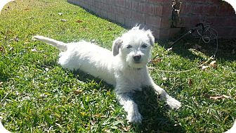 Maltese/Terrier (Unknown Type, Small) Mix Dog for Sale in San Diego, California - Precious SOPHIE