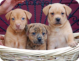 Labrador Retriever Mix Puppy for Sale in Unionville, Pennsylvania - Lab Mix Puppie: Girls