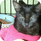 Domestic Shorthair Kitten for adoption in La Canada Flintridge, California - Pepper