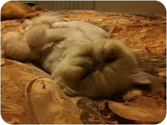 Persian Cat for Sale in Beverly Hills, California - Sammy