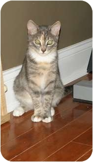 Domestic Shorthair Cat for Sale in Barnegat, New Jersey - Penny