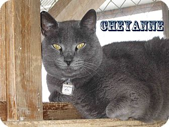 American Shorthair Cat for Sale in Hamilton, Montana - cheyanne